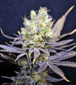 Nordle CBD Feminised Seeds - 5