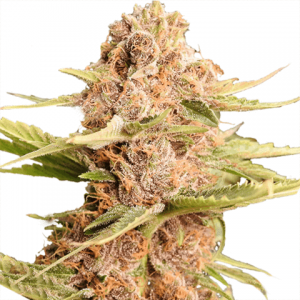 girl-scout-cookies-extreme-seeds_large-300x300